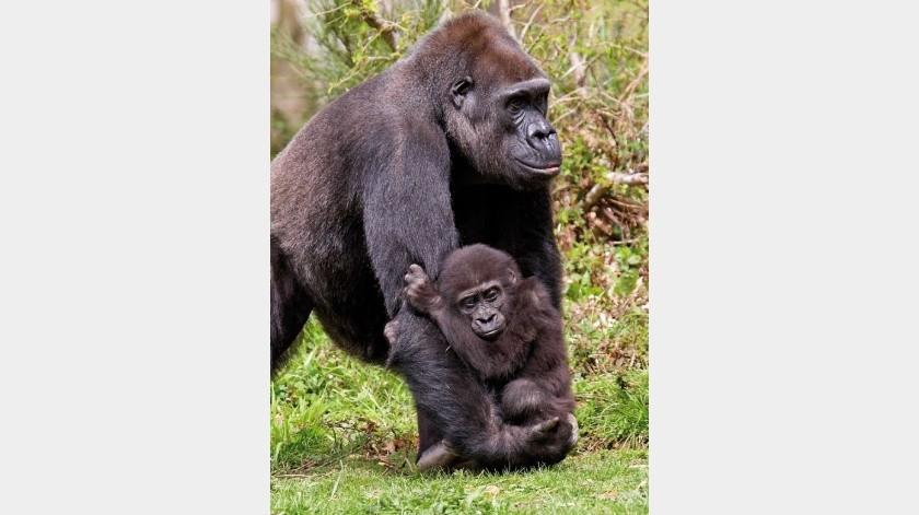 Fotos únicas de una especie de gorila en su hábitat(Tomada de la red)