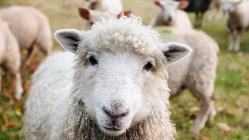 Roban animales de granja en campestre El Chaparral(Pixabay / Ilustrativa)