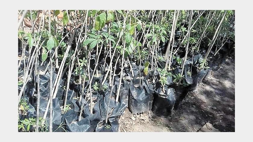 Ser Natura tiene planeada la producción de 20 mil árboles para campañas de reforestación.(Banco Digital)