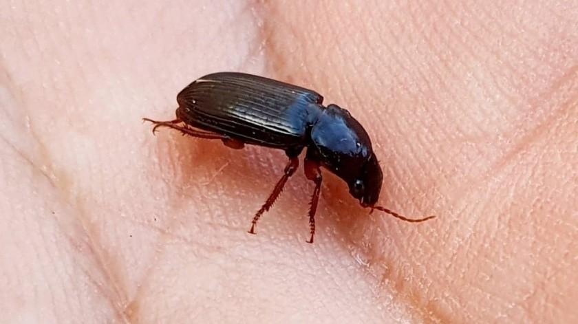 """Escarabajos """"Negro Durazo"""" son controladores de plaga(Julián Ortega)"""
