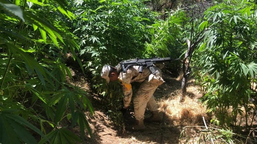 """Elementos del Ejército Mexicano destruyeron un plantío de mariguana en el cerro """"El Pinacate"""".(Cortesía)"""