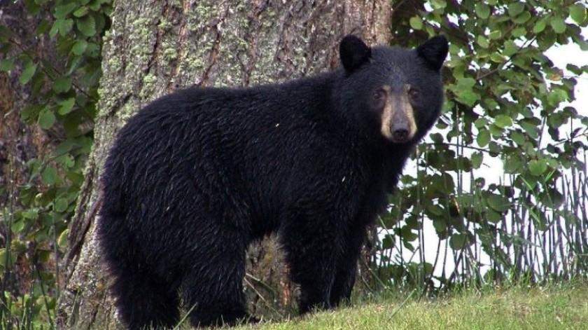 Otro oso se lleva los reflectores en Monterrey al robar orden de pollo