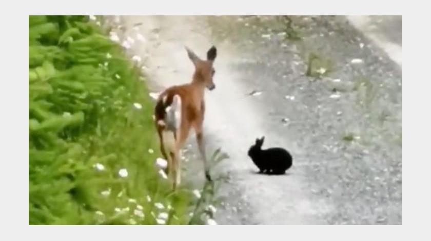 Graban a ciervo y conejo jugando juntos(Tomada de la red)