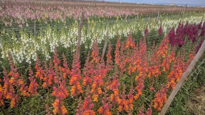 La producción de flores y las buenas prácticas sanitarias han generado que los mercados estadounidenses vean al campo de Maneadero como un polo de crecimiento.