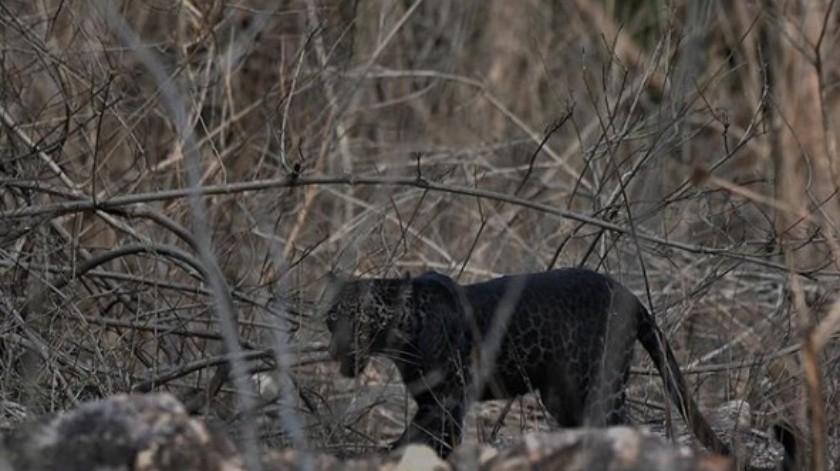 Encuentran leopardo negro extremadamente raro(Tomada de la red)