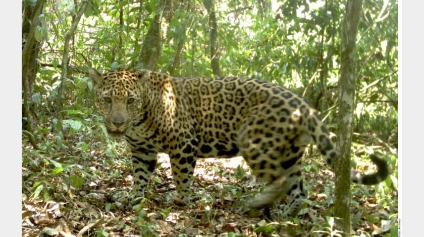 El jaguar atacó a la mujer en el zoológico Acuario y Safari Park Wildlife World el sábado por la noche.