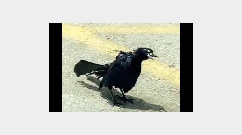 Un pájaro asusta a internautas por parecer un 'zombie'