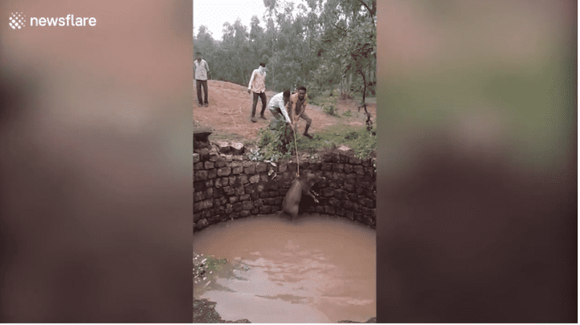 Jabalí atrapado en un pozo ataca a los rescatistas después de ser liberado en India
