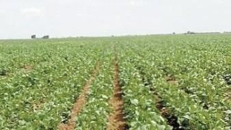 Cultivo de soya, un generador de empleos en Valle del Yaqui