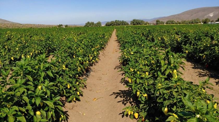 Durante el actual ciclo agrícola primavera-verano 2020, en el Valle de la Trinidad, se establecieron un total de 96 hectáreas con el cultivo del chile.