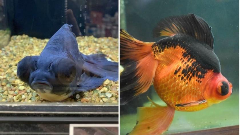 El sorprendente rescate de un pez que estaba a punto de morir en tienda de mascotas(Tik Tok Lacey Scott)