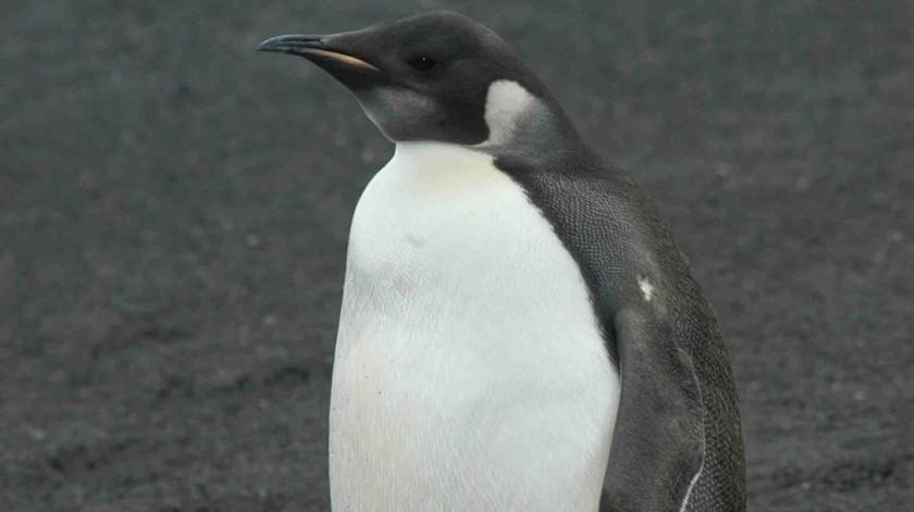 Descubren nuevas colonias de pingüino emperador en la Antártida(EFE)