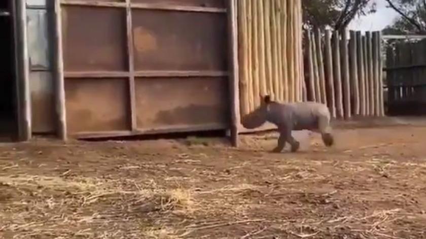 La ternura de un rinoceronte bebé al correr por el establo