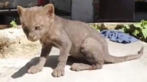 Adoptó un gato callejero y resultó ser un animal en peligro de extinción