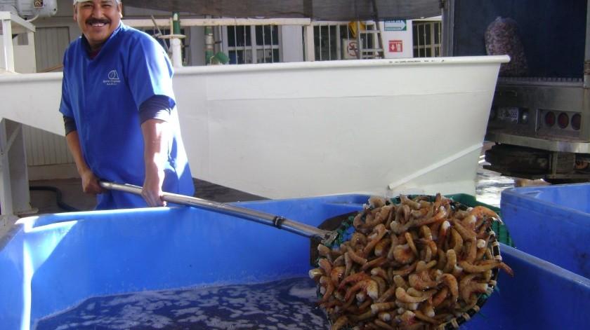 Este año podría adelantarse la pesca de camarón en las bahías a petición de productores ribereños.(Yesicka Ojeda)