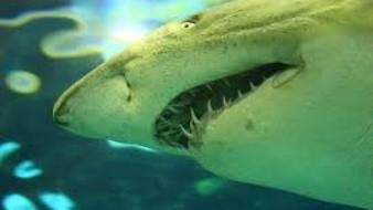 Video: Tiburón blanco se alimenta de los restos de una ballena