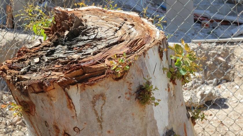 Autoridades municipales continúan aplicando las sanciones correspondientes contra la tala de árboles en la ciudad de Hermosillo.(Julián Ortega)