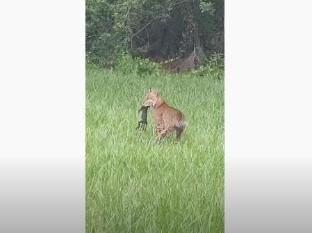 Una persona grabó justo el momento en que ambos animales se enfrentaron