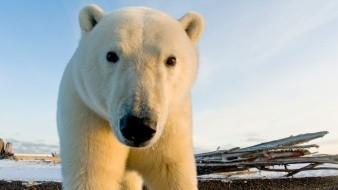 Osos polares pelean por comida que la marea llevó a la orilla del mar