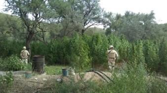 Incineran plantío de mariguana en Aconchi