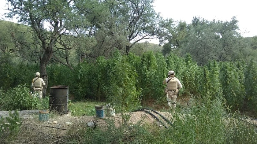 Incineran plantío de mariguana en Aconchi(Cortesía)