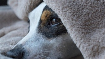 Cómo saber si un perro tiene calentura