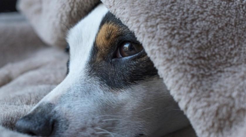 Cómo saber si un perro tiene calentura(Tomada de la Red)