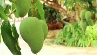 Las hojas de mango tienen beneficios que se utilizan en la medicina tradicional.