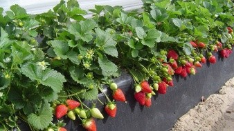 El cierre de las labores de cosecha del cultivo de la fresa, con la siembra y cosecha de 2 mil 967 hectáreas.