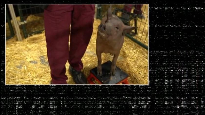 Neurolink: cómo fueron las pruebas del chip cerebral de Elon Musk en cerdos(GH)