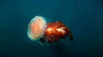 Graban a la medusa más grande del mundo