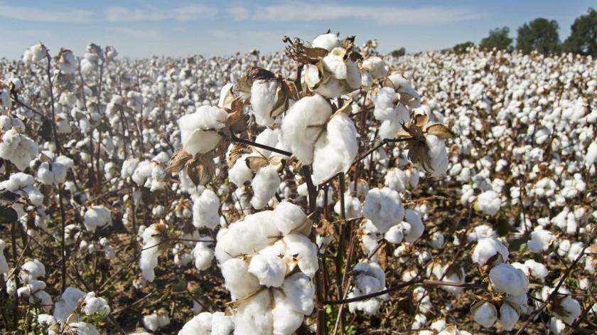 Piden productores de algodón sembrar con semillas transgénicas(Pixabay)