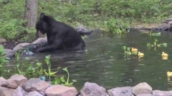 El oso tuvo buena convivencia con los peces, cangrejos y ranas que vivían en el estanque y ninguno sufrió algún daño.