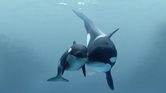 Orca  cargar a su cría muerta