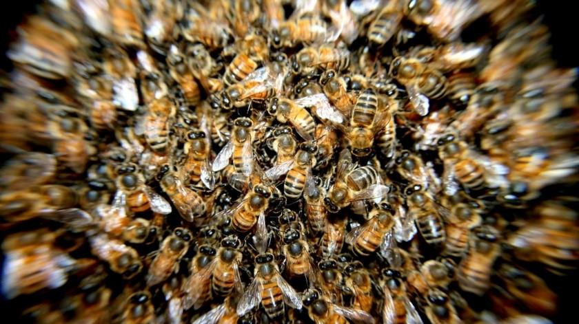 Muere jornalera por ataque de abejas en el Valle del Yaqui(Pixabay / Ilustrativa)