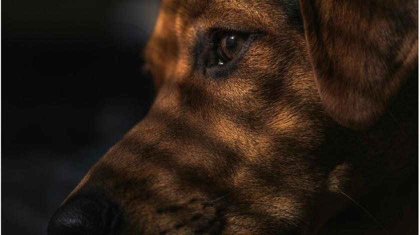Explicó que eran perros amigables y quela recibían con mucho amor y hambrientos.(Imagen ilustrativa de Pixabay.)