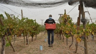Cosechan uva de viñedo experimental de agua tratada