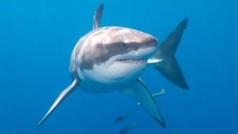 Un tiburón blanco muerde motor de bote
