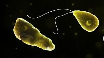 """La """"ameba comecerebros"""" es causante de una enfermedad conocida como meningoencefalitis amebiana primaria, una infección cerebral que lleva a la destrucción del tejido cerebral y causa la muerte en un promedio de cinco días."""