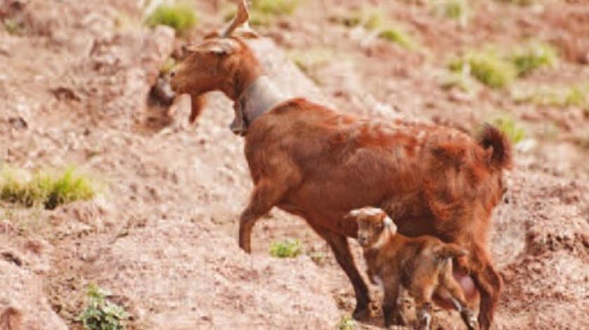 Se reencuentra cabra con su mamá(Tomada de la red)