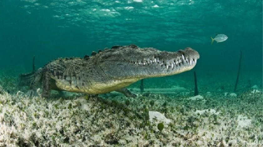 Un hombre nada entre cocodrilos(Tomada de la red)