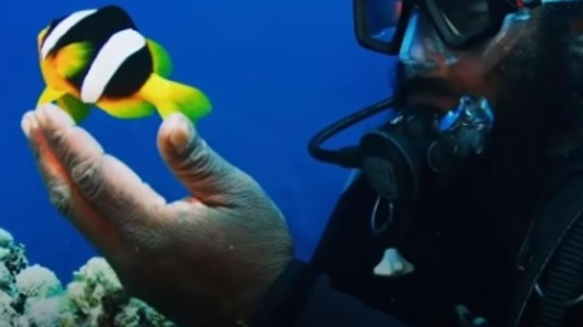 Un buzo conoció a un pez payaso cuando el animalito era muy pequeño(YouTube)