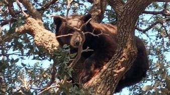 El oso negro está catalogado por Semarnat como una especie en peligro de extinción.