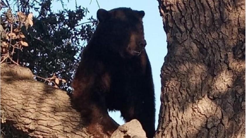 Rescatan a oso del cual alertaron en Agua Prieta(Cortesía)
