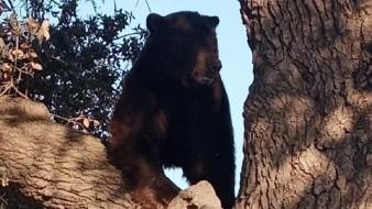 Rescatan a oso del cual alertaron en Agua Prieta