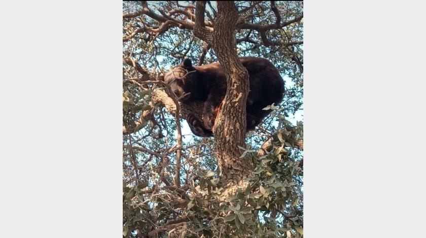 El oso de aproximadamente 12 años de edad se mantuvo por varias horas arriba de un árbol(Especial)
