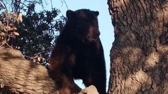 El oso localizado entre Agua Prieta-Janos fue dirigido hacia su hábitat natural