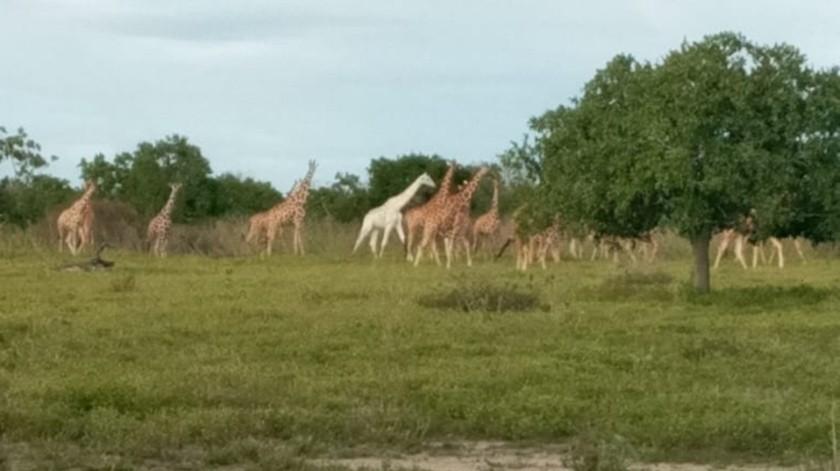 El último ejemplar de jirafa blanca paseando las afueras de Ishaqbini Hirola Conservancy.(Kenya Wildlife Service)