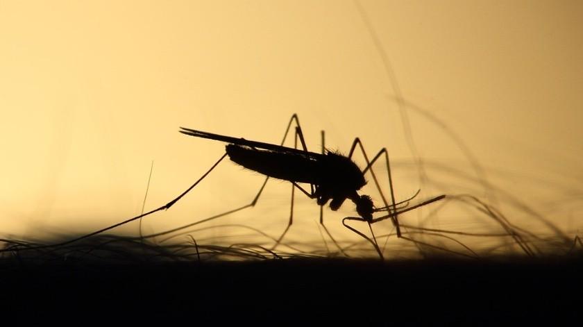 El insecto se cría en áreas urbanas de alta densidad donde hace calor y abundan las lluvias, lo que pone a 126 millones de africanos.(Foto ilustrativa)