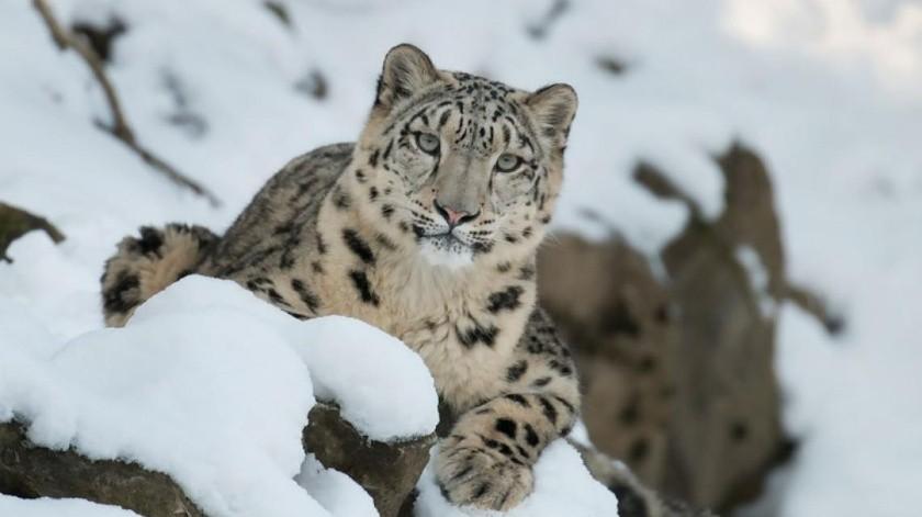 Leopardo de las nieves se toma una selfie(Tomada de la red)